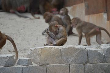Denkend aapje van Dennis Mullenders