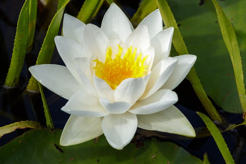 Weiße Seerose von Anjo ten Kate