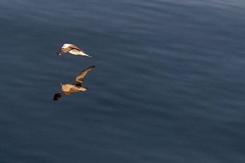 Noordse stormvogel in de middernacht zon