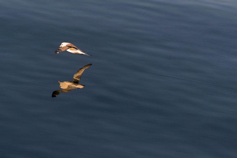 Noordse stormvogel in de middernacht zon van Abe Maaijen