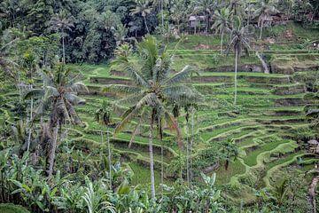 Rijstplantages in Ubud op Bali van Dries van Assen
