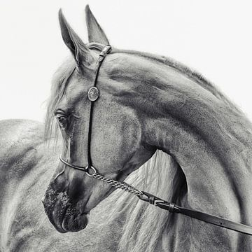 het Arabische paard, Piet Flour van 1x