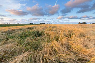 Champs de blé dans la région du Hogeland de Groningen, près d'Eenrum. Le soleil du soir donne au pay sur Bas Meelker