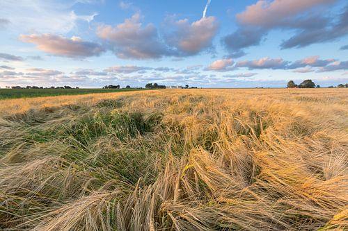 Graanvelden in het Hogeland in Groningen bij Eenrum. De avondzon geeft het landschap een warme gloed