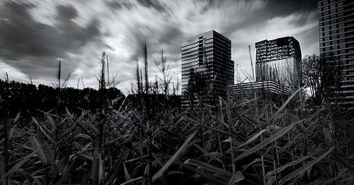 Maisveld op de Zuidas van Amsterdam van