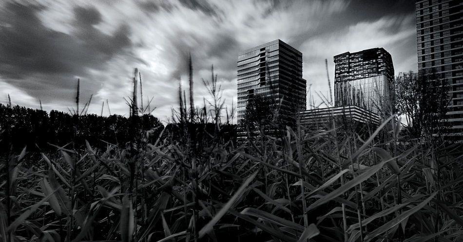 Maisveld op de Zuidas van Amsterdam