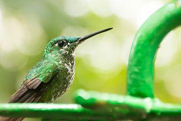Groene Kolibri in Costa Rica von Christel Bekkers