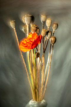 Popping poppy