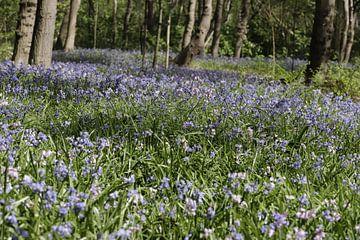 Een blauw tapijt met blauwe wilde hyacinten in een bos van Cora Unk