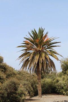 Palme auf Gran Canaria Spanien von Mavin Taschik