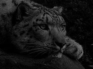 Witte Bengaalse tijger in zwart wit