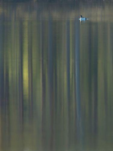 Brilduiker met reflectie van bos von Erik van Velden