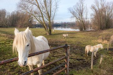 Witte paarden van Moetwil en van Dijk - Fotografie