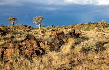 kokerbomen woud in Namibië van Jan van Reij