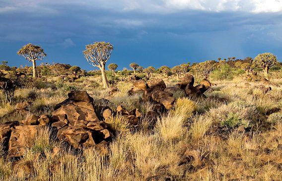 kokerbomen woud in Namibië
