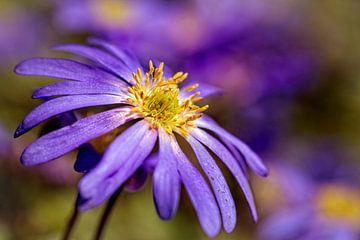Anemone-Blanda van Rob Boon