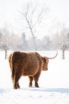 Schottischer Highlander läuft im Schnee davon von Cindy Van den Broecke