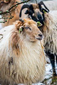Schafe in der Kälte