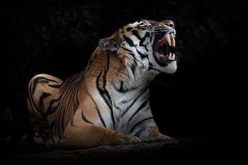 De tijger ontbloot tanden, geïsoleerde zwarte achtergrond, krachtig dier ligt geïsoleerd op zwarte a van Michael Semenov