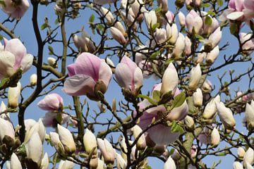 Magnolia van Carina Diehl
