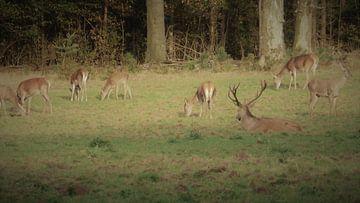Herten, Zwijnen, wild zwijn, hert, natuur, wildlife,bronsttijd, burlen van Gijs van Veldhuizen