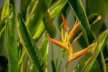 Heliconia gelb-orange Blüte zwischen grünen Blättern von Esther Mennen