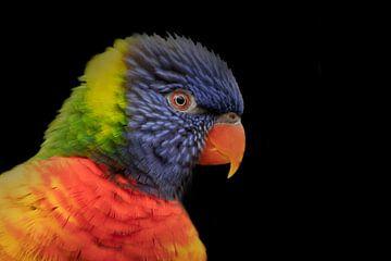 Lori, een kleine papegaai van