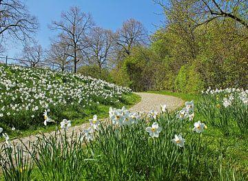 narcissus in the park van Susanne Bauernfeind