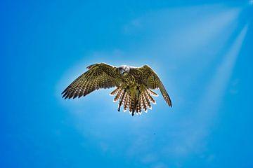 Roofvogel in de lucht van Simdwlf