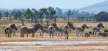 Zebra-Herde von jacky weckx