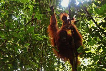Orangutan met baby - Bukit Lawang, Sumatra, Indonesia van Stefan Speelberg