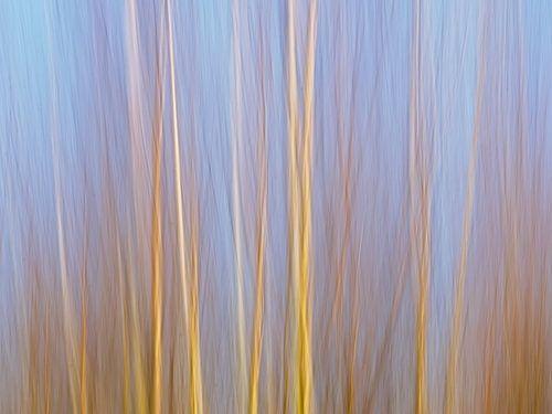 Abstracte impressie van een berkenbos