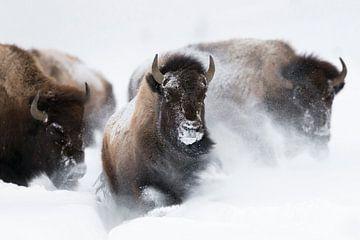 Stampede...  Amerikanische Bisons *Bison bison* von wunderbare Erde