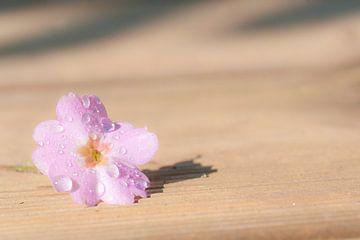 De hibiscusbloem bedekt met regendruppels van Margreet Piek