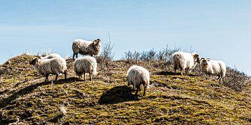 Weidende Schafe auf einem Dünenkamm von MICHEL WETTSTEIN