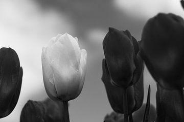 Zwarte tulpen met een enkele witte tegen een wolkenlucht van Helene van Rijn