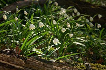 Märzenbecherblüte auf der Wiese von Keith Wilson Photography