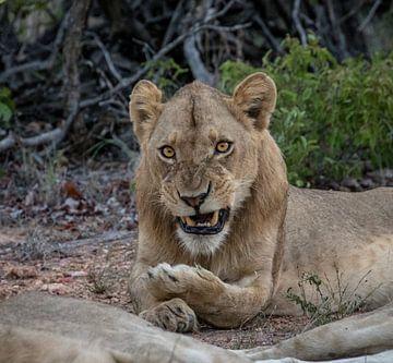 Een geïrriteerde leeuw! van Jordi Woerts