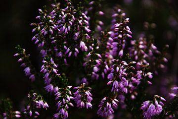 Lavendel van Sofie Verheijen