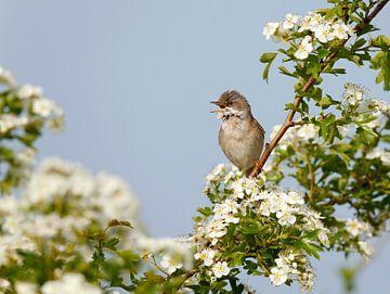 Singing male Common Whitethroat von