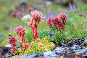 Wilde planten en bloemen in de Zwitserse alpen