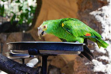 Etende papegaai van Ingeborg Veldboom