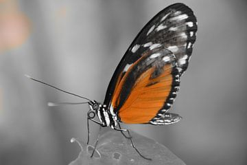 Vlinder (in selectieve kleur oranje) van Hanneke Duifhuize