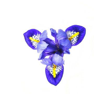 Iris-Harmonie (Retikulata 'Harmonie') von Carola Schellekens