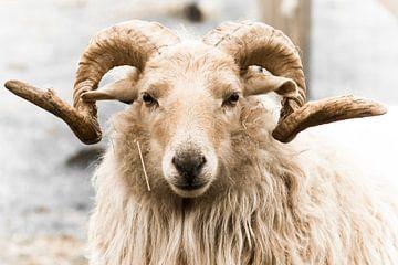 Schafe mit Hörnern von Lydia :)
