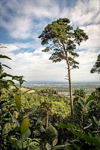Einzelne Kiefer steht auf einem Berg mit weitem Blick auf ein Tal in Deutschland