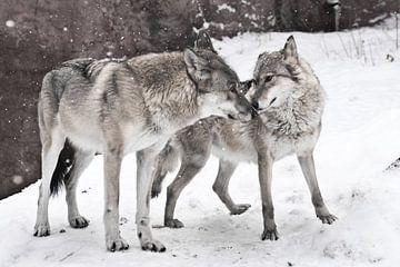 Un heureux couple de loups mariés ensemble. sur Michael Semenov