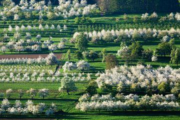 Kersenbomen in volle bloei van Jürgen Wiesler