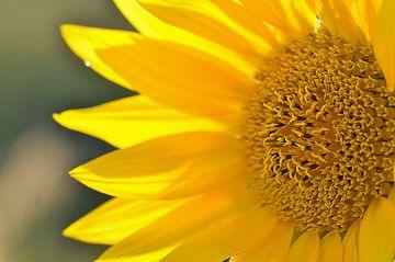 zonnebloem van zwergl 0611