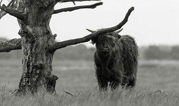 Schotse hooglander 4 van Jan Peter Nagel